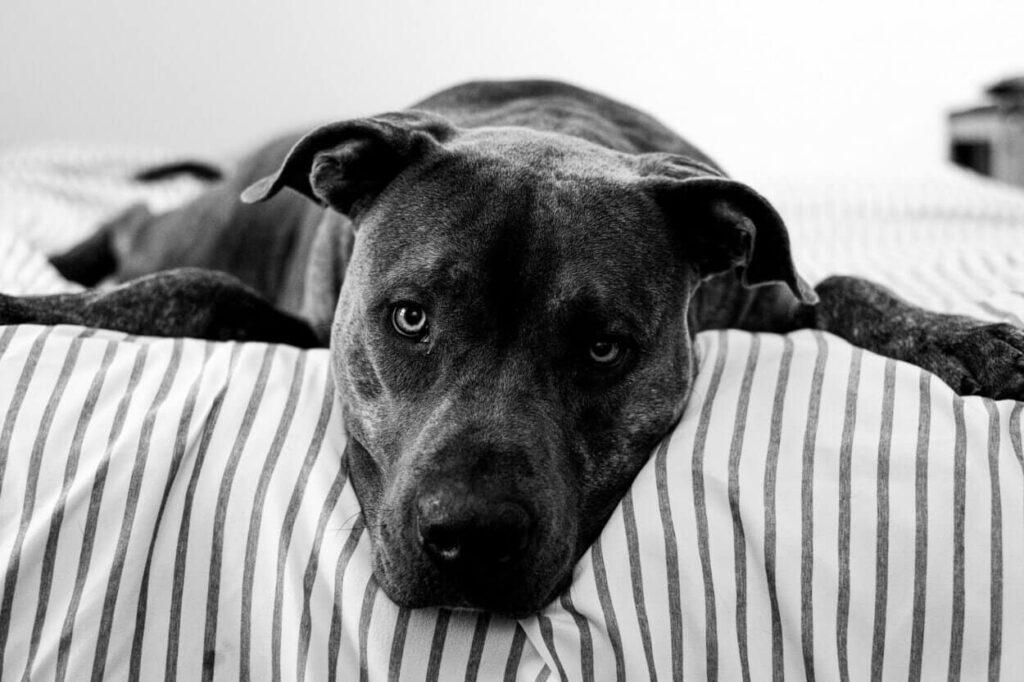 black pitbull