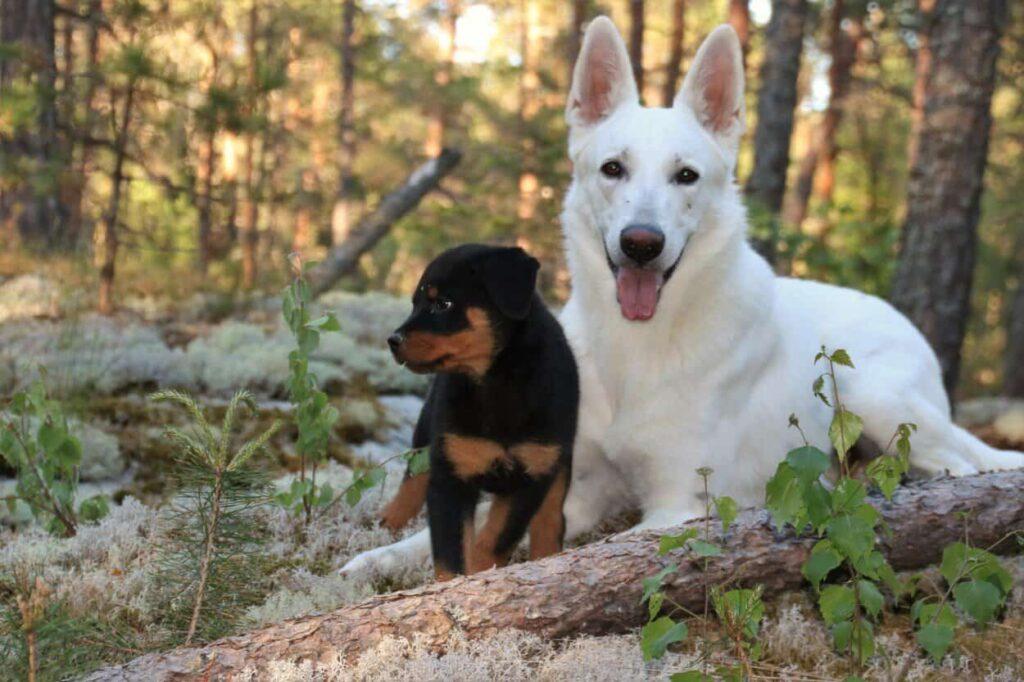 white german shepherd